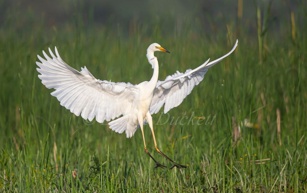 _H2P1199 GW Egret landing in reeds.jpg