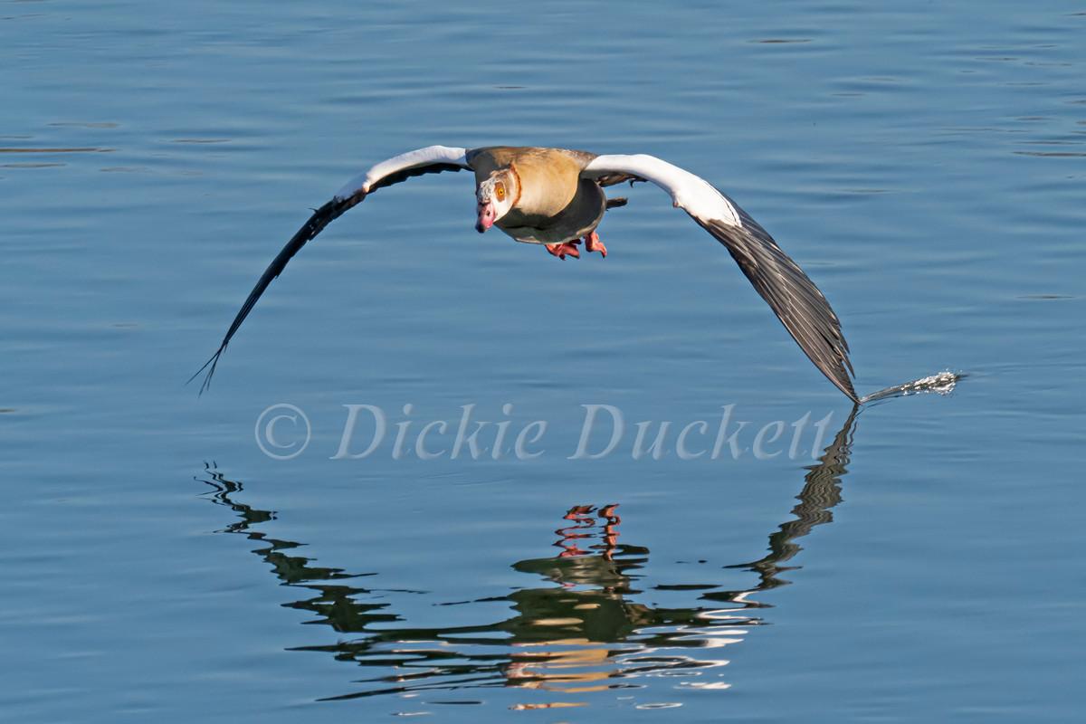 _4052471 Egyptian Goose in flt towards l