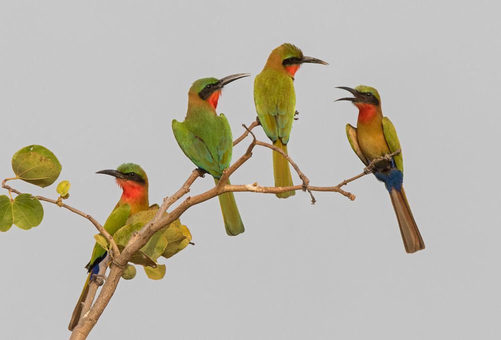 _A5A1673 Red-throated Bee Eaters x 4.jpg