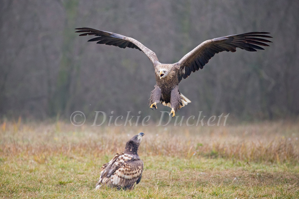 _H2P1699 Eagle calling in flight.jpg