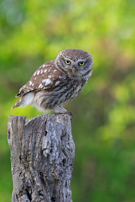 _I8A5375 Little Owl perched vert (yellow