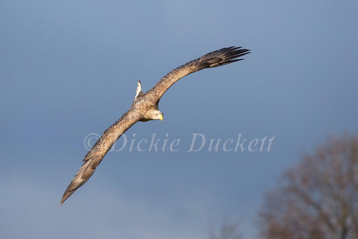 _H2P1102 Eagle adult in flight.jpg
