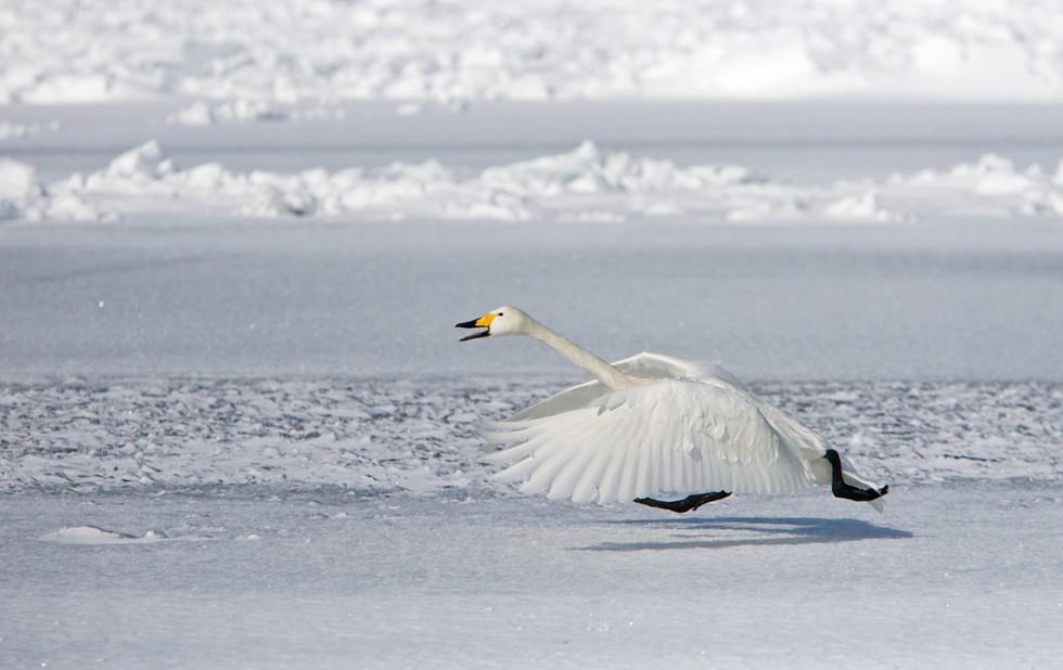 _X0A3424 Swan take off