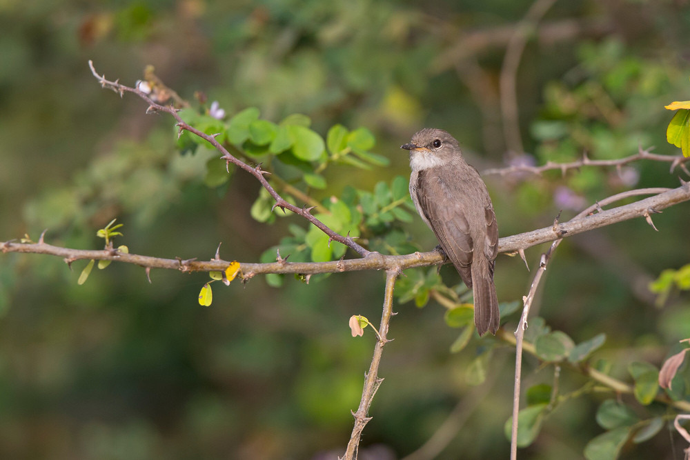 _H2P0120 Swamp Flycatcher (big crop).jpg