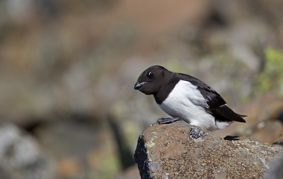 07 Little Auk.jpg