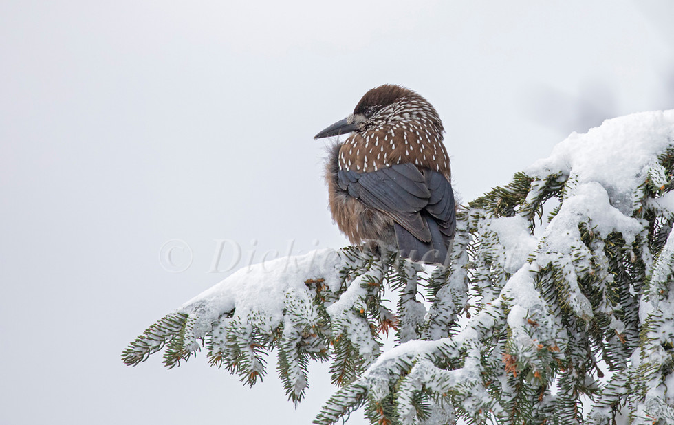 _I8A8308 Nutcracker on snowy fir branch.