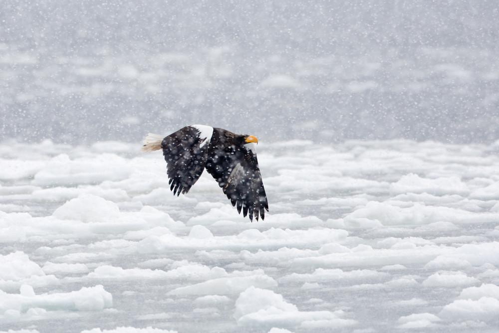 _93C7434 Steller's in flit over ice in s