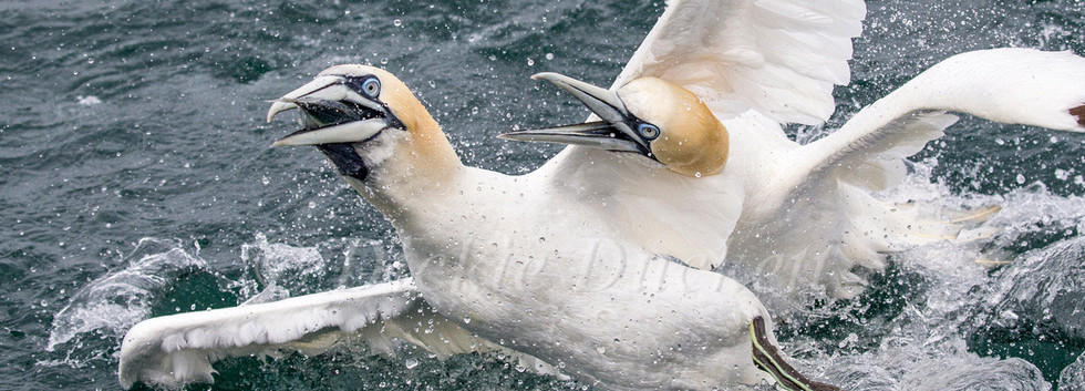 11 Gannets Bempton.jpg