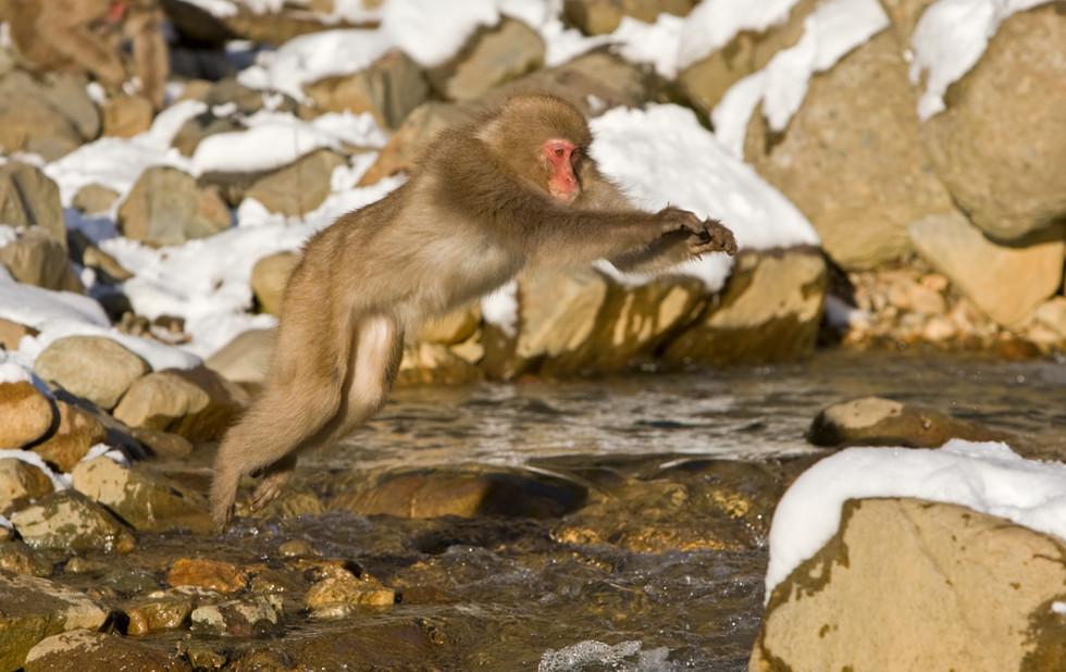 _93C0475 Monkey jumping