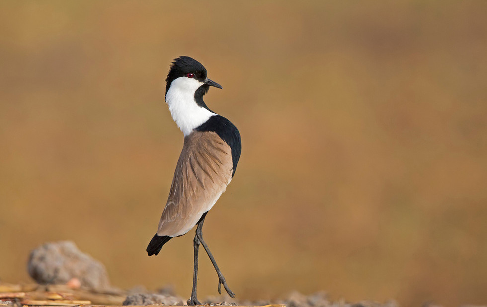 _H2P0672 Spur-winged Plover courtship display parading.jpg
