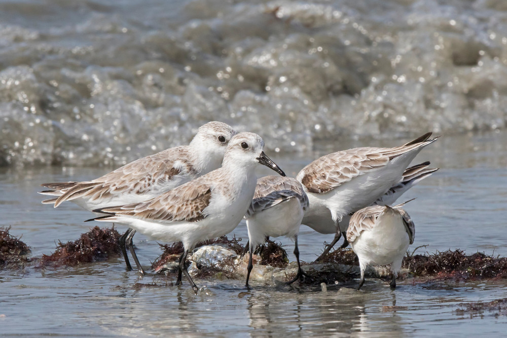 _A5A8308 Sanderlings on beach.jpg
