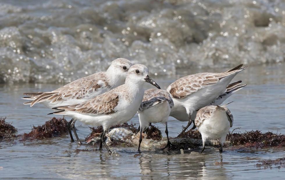 _A5A8308 Sanderlings on beach.jpg
