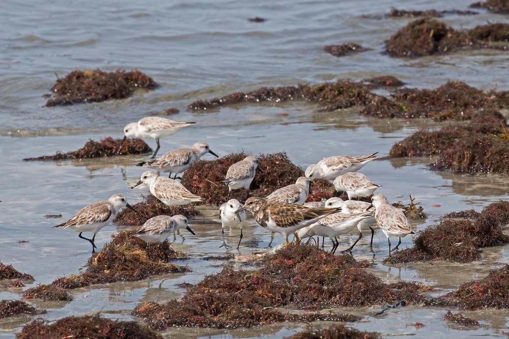 _H2P9415 Sanderlings & Turnstone feeding