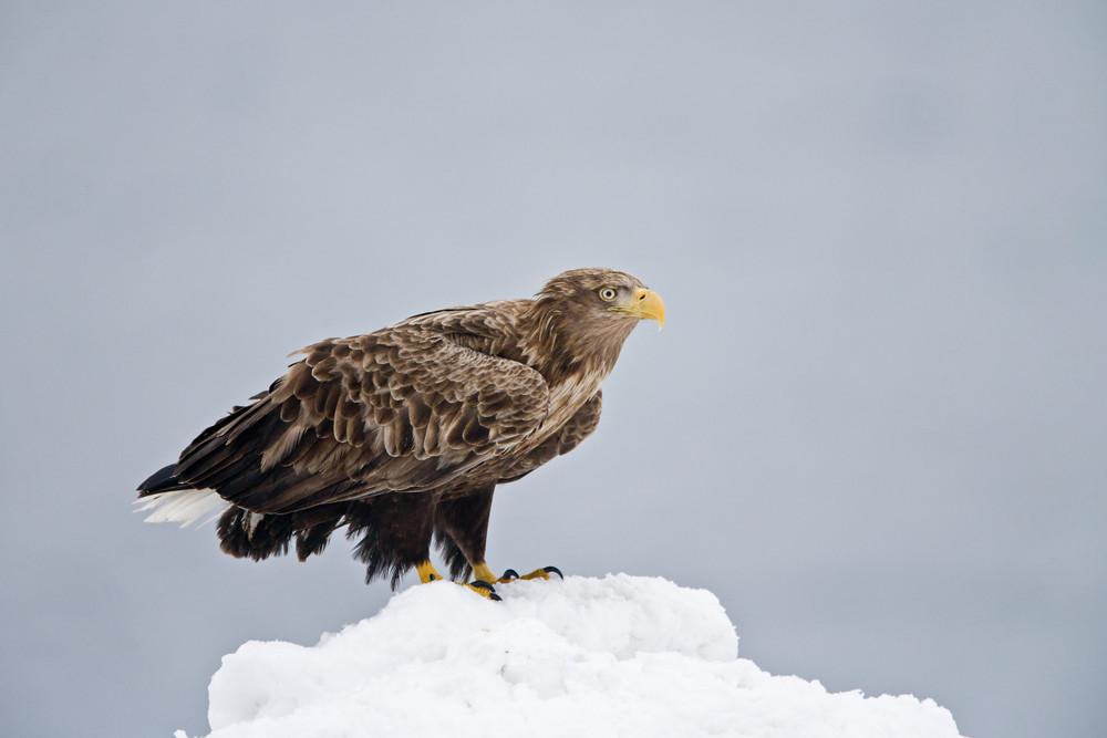 _X0A3809 Eagle on snow mound