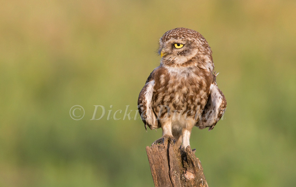 _H2P2096 Little Owl perched 2 (cropped).