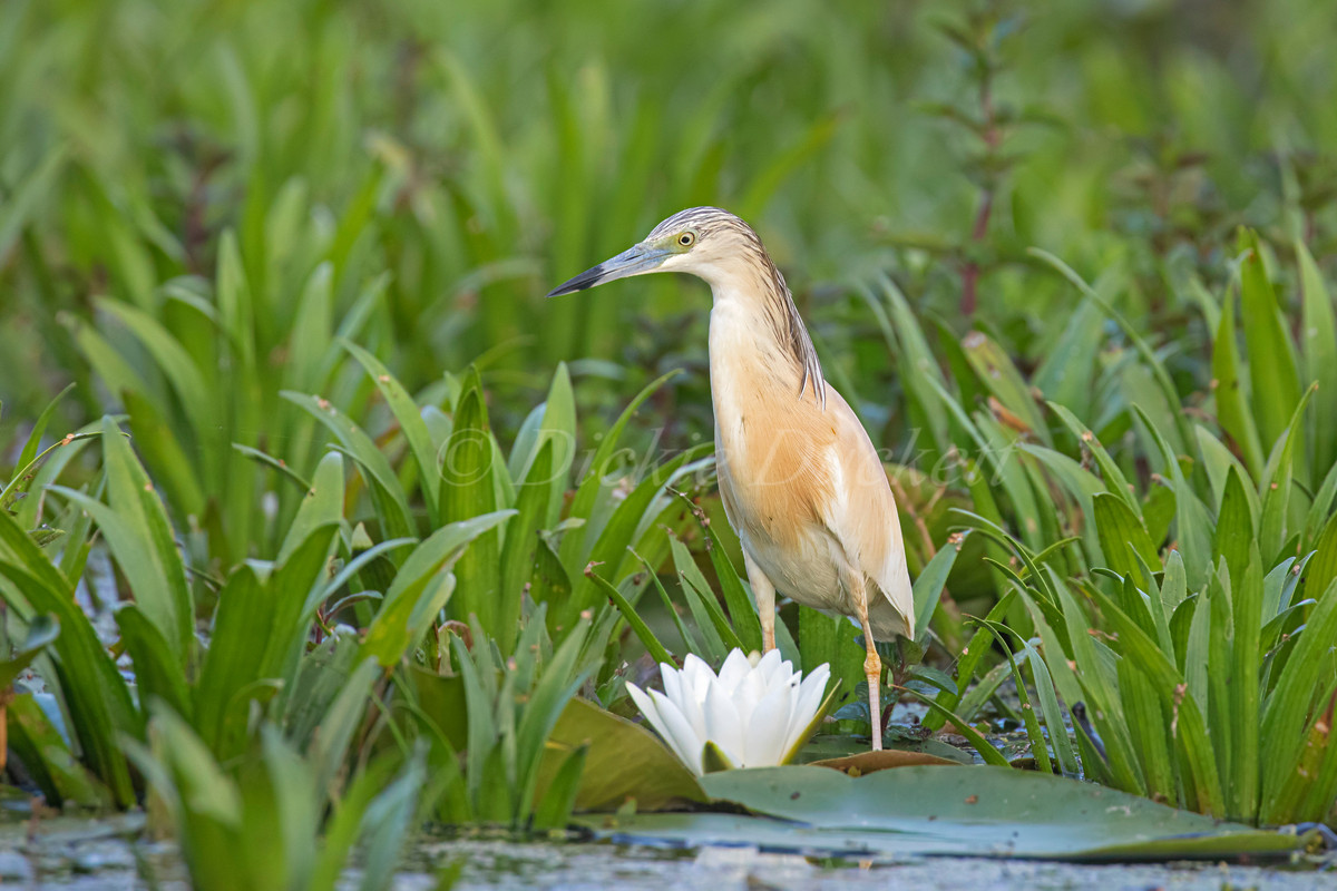 _I8A3433 Squacco by Water Lily.jpg