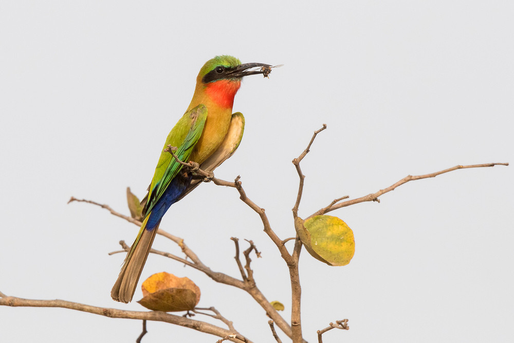 _A5A1687 Red-throated Bee Eater with Bee