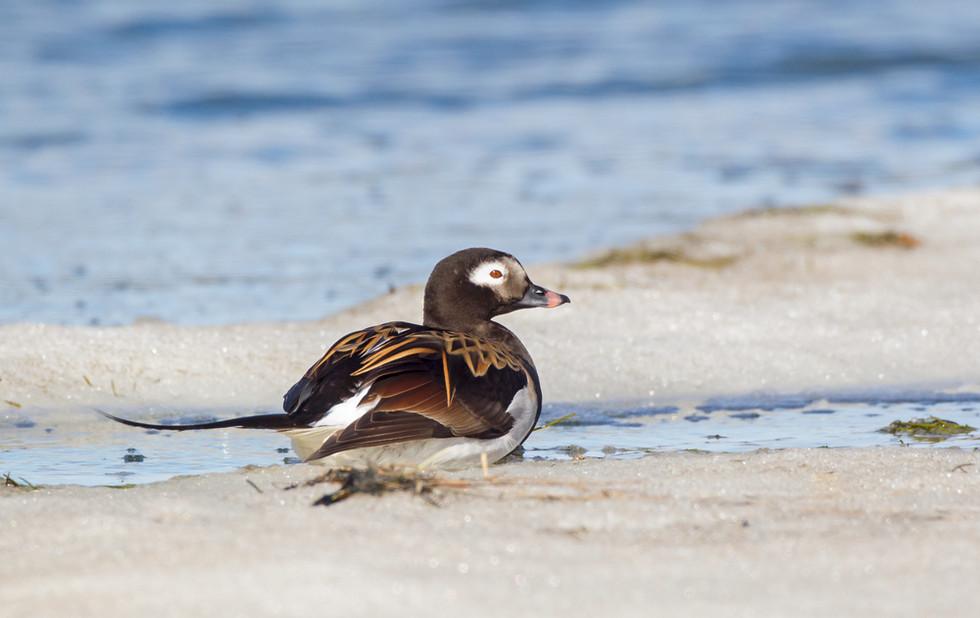 _13C4668 LT Duck on ice.jpg