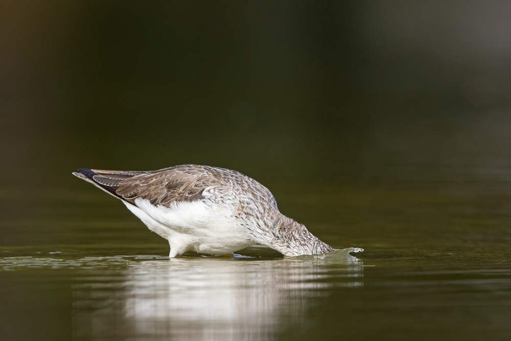 _A5A3697 Greenshank feeding underwater.j