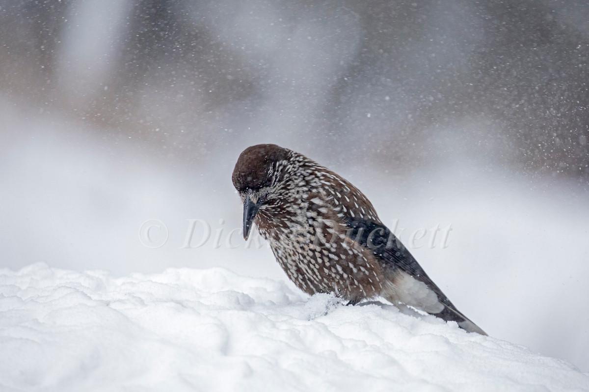 _I8A8158 Nutcracker on snow in falling s