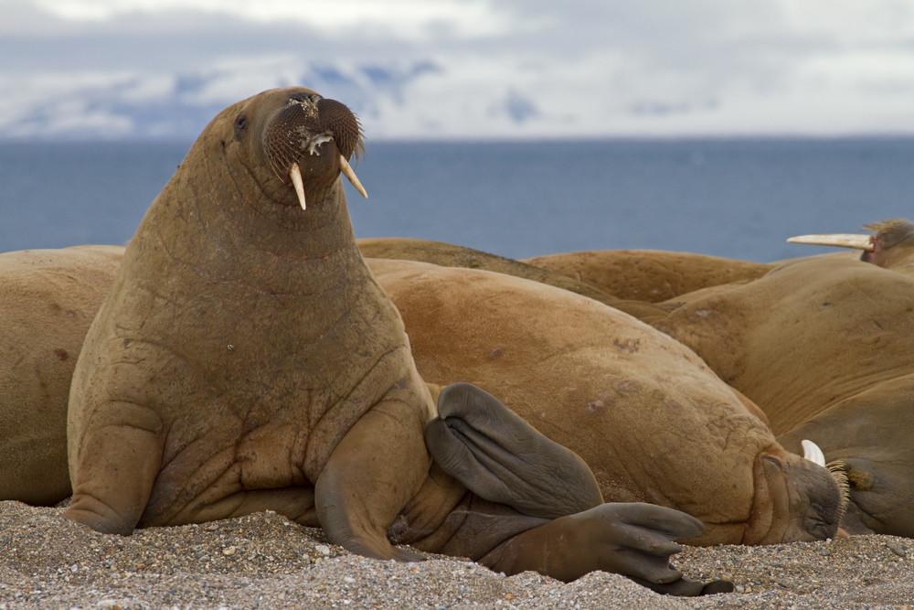 06 Walrus.jpg