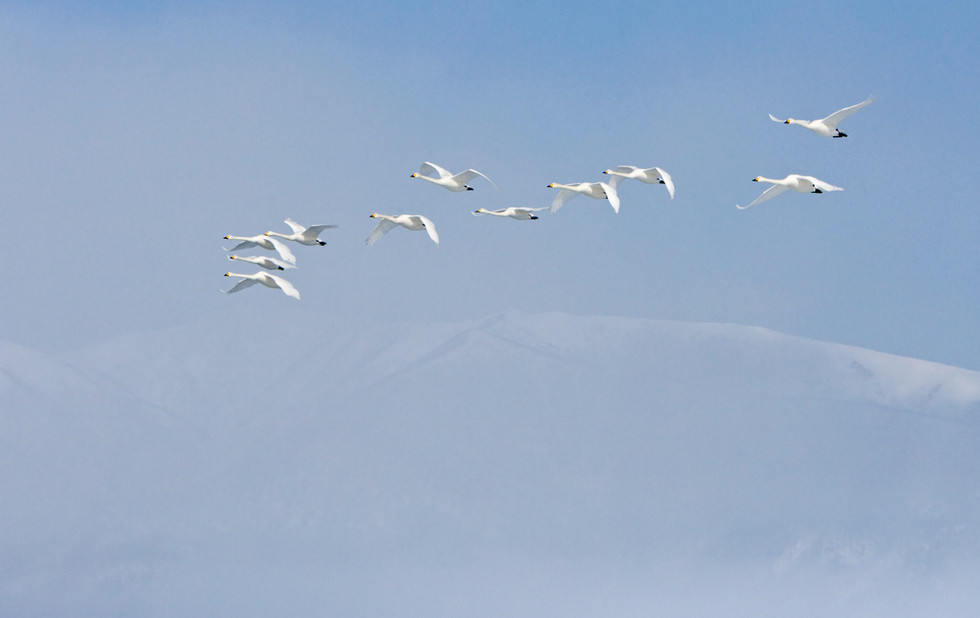 _X0A3259 Swans over mountain top