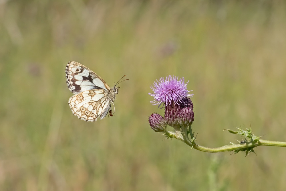 _6230859 Marbled White (Ant attached).jp