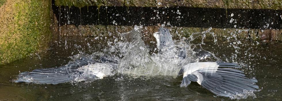 _A5A7903 Heron diving underwater.jpg
