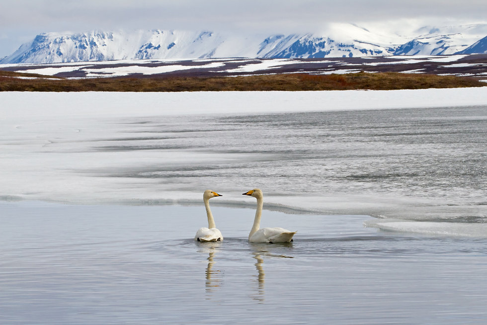 _MG_7100 Whooper Swans on frozen lake.jp