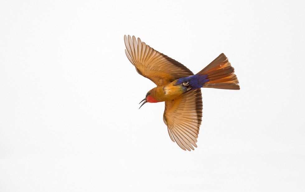 _H2P0358 Red-throated Bee Eater inflt.jp