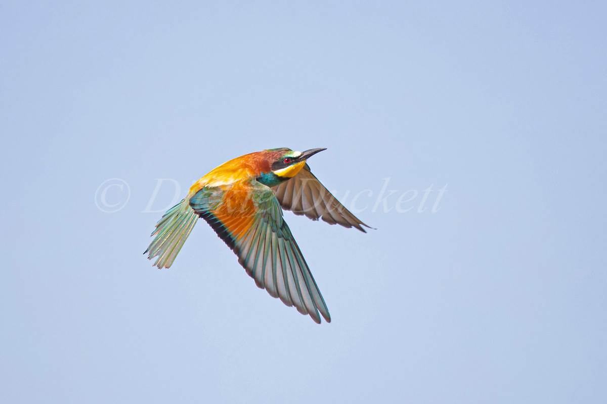 _H2P3430 Bee Eater in flt towards (showi