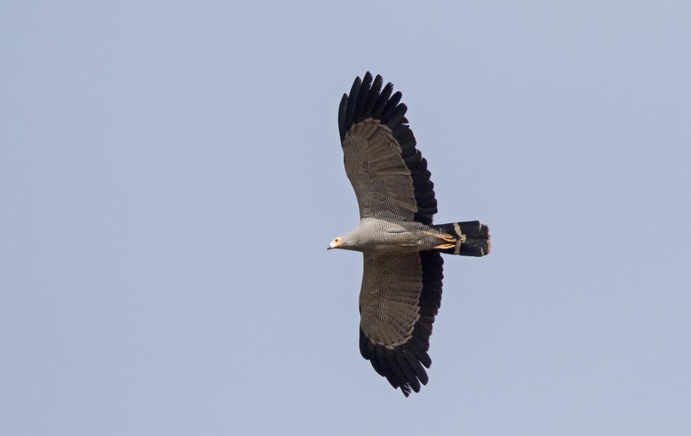 _A5A2523 Harrier Hawk.jpg