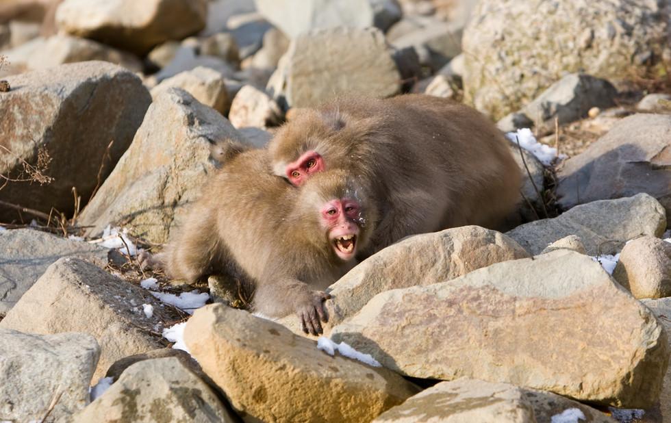_93C1314 Monkeys fighting