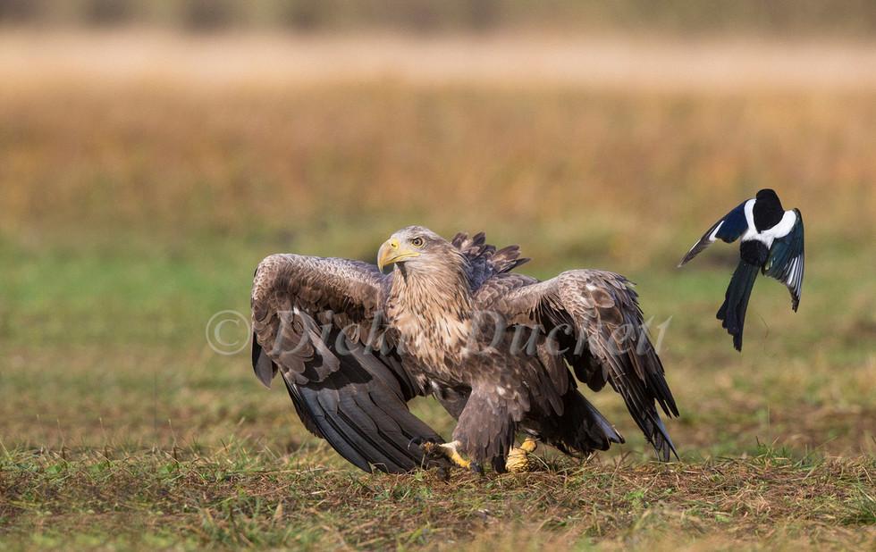 _H2P0206 Eagle adult + Magpie