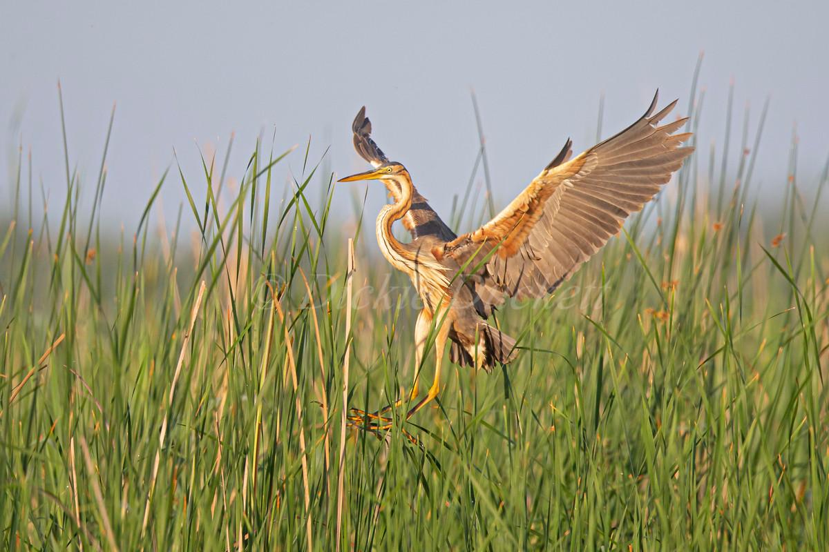 _H2P0966 Purple Heron landing into reeds