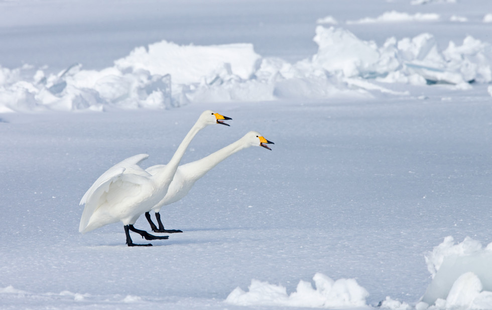 _X0A2391 Swan pair calling