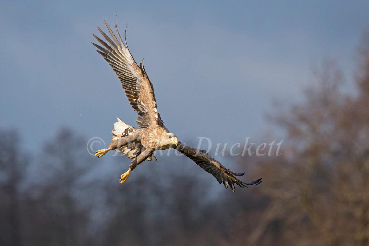 _H2P1111 Eagle diving.jpg