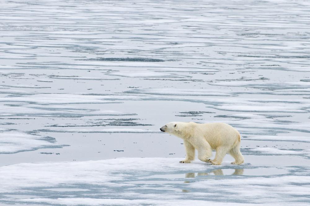 11 Polar Bear.jpg
