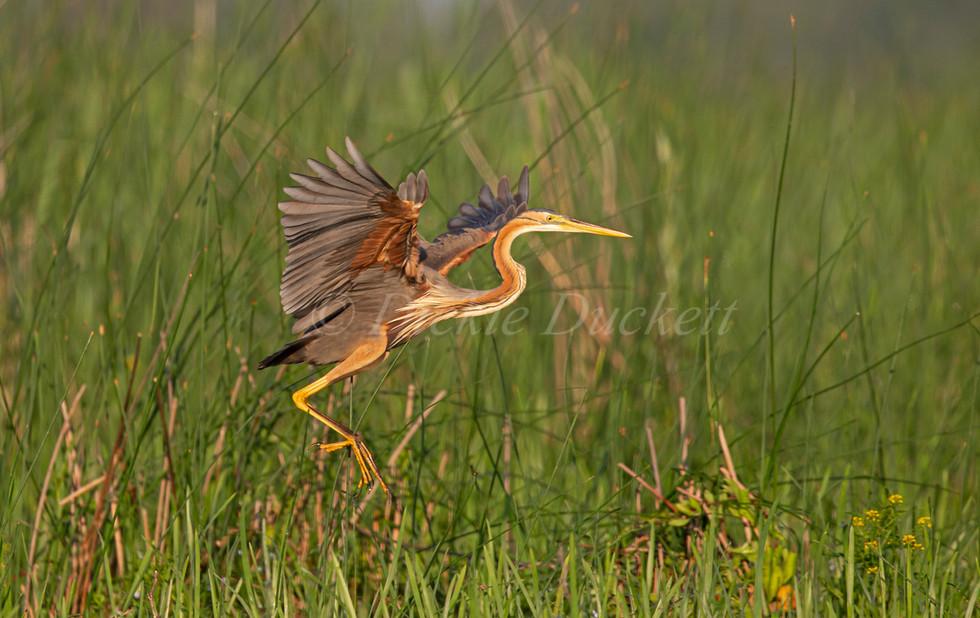 _H2P1015 Purple Heron landing in reeds.j