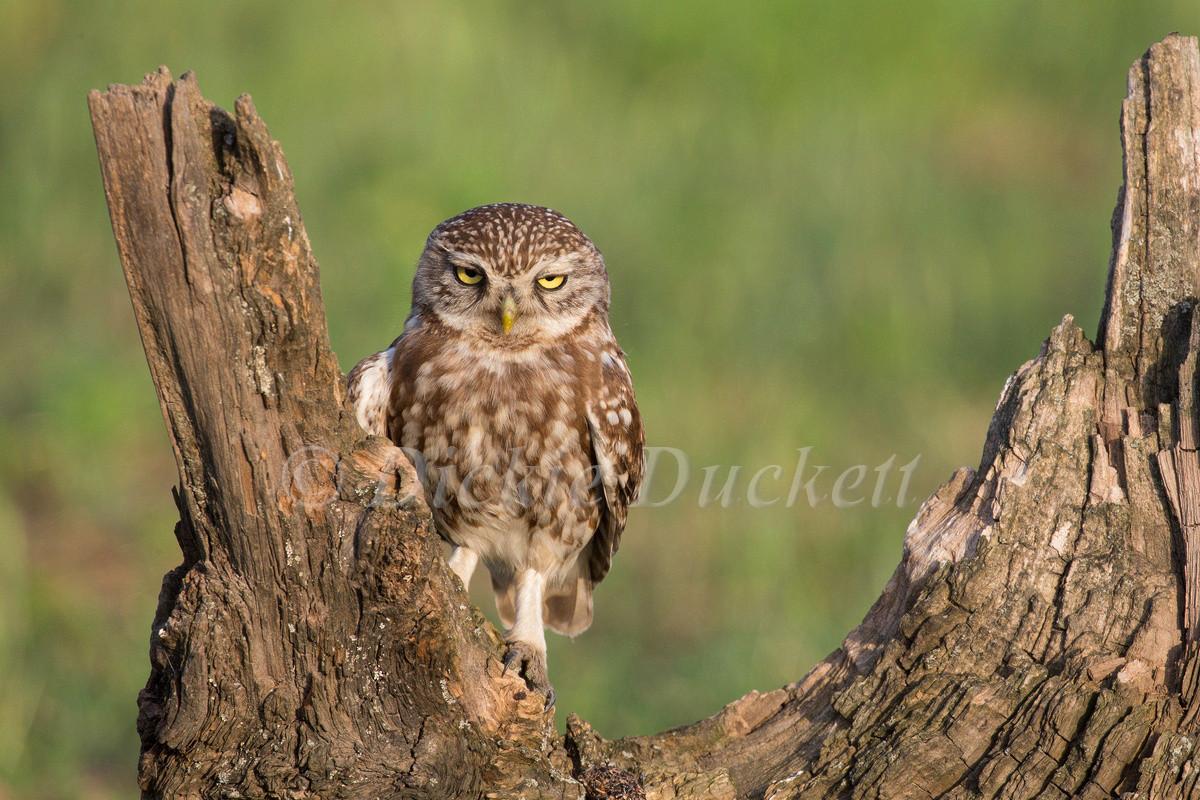 _H2P2003 Little Owl.jpg