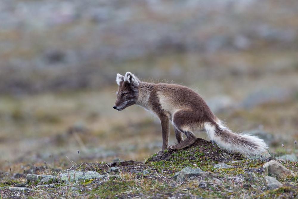 06 Arctic Fox.jpg
