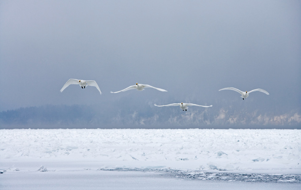_X0A2768 Swans over frozen lake