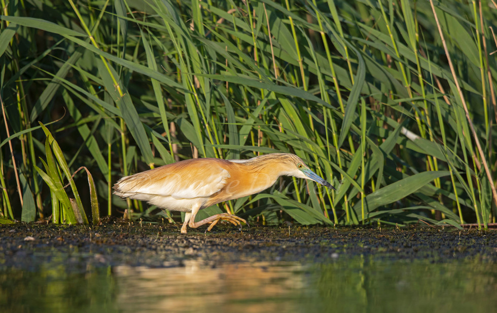 _I8A4671 Squacco hunting larvae.jpg
