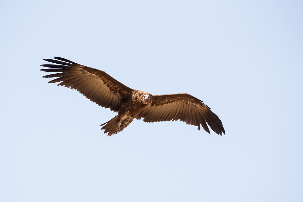 _H2P9141 Hooded Vulture.jpg
