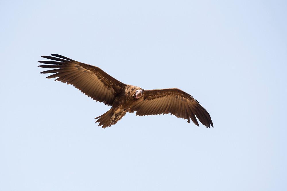 _H2P9141 Hooded Vulture.jpg
