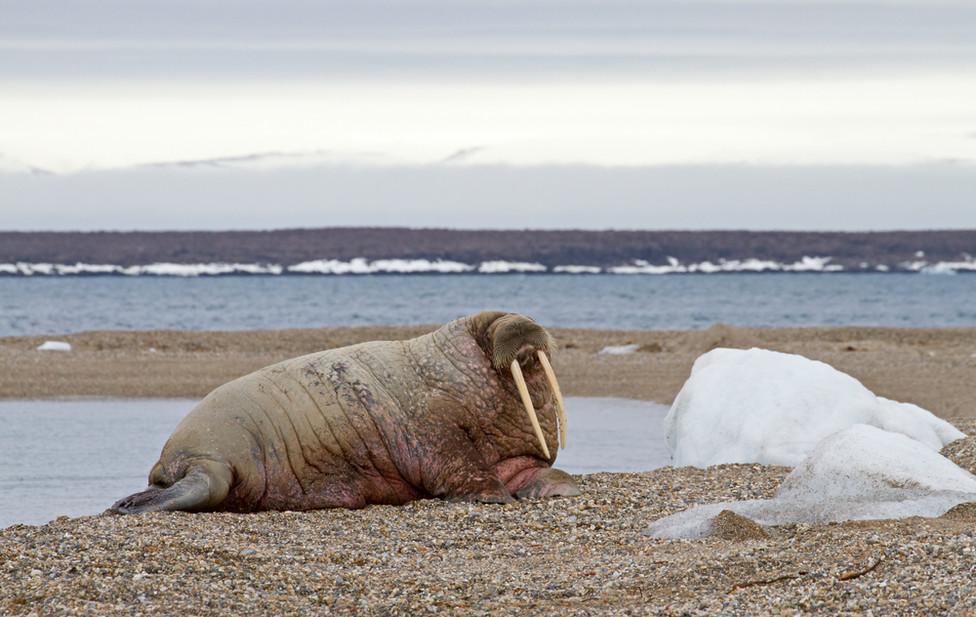 05 Walrus.jpg