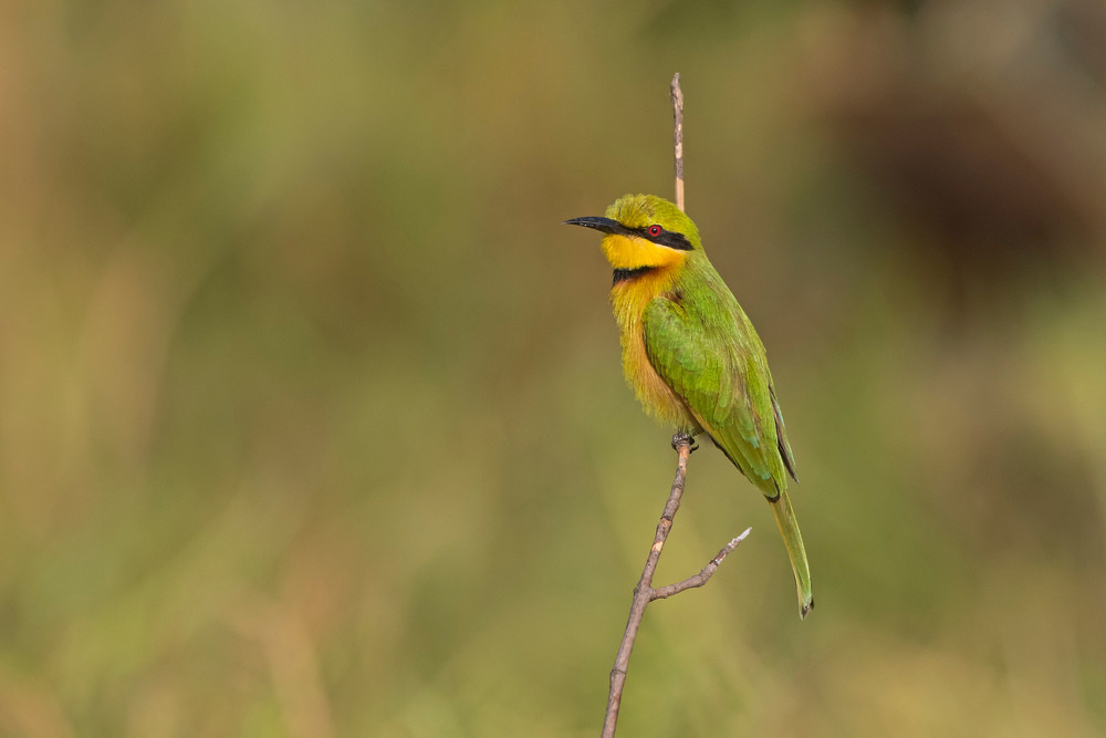 _A5A5235 Little Bee Eater.jpg