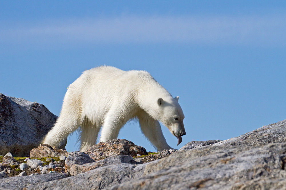 12 Polar Bear.jpg