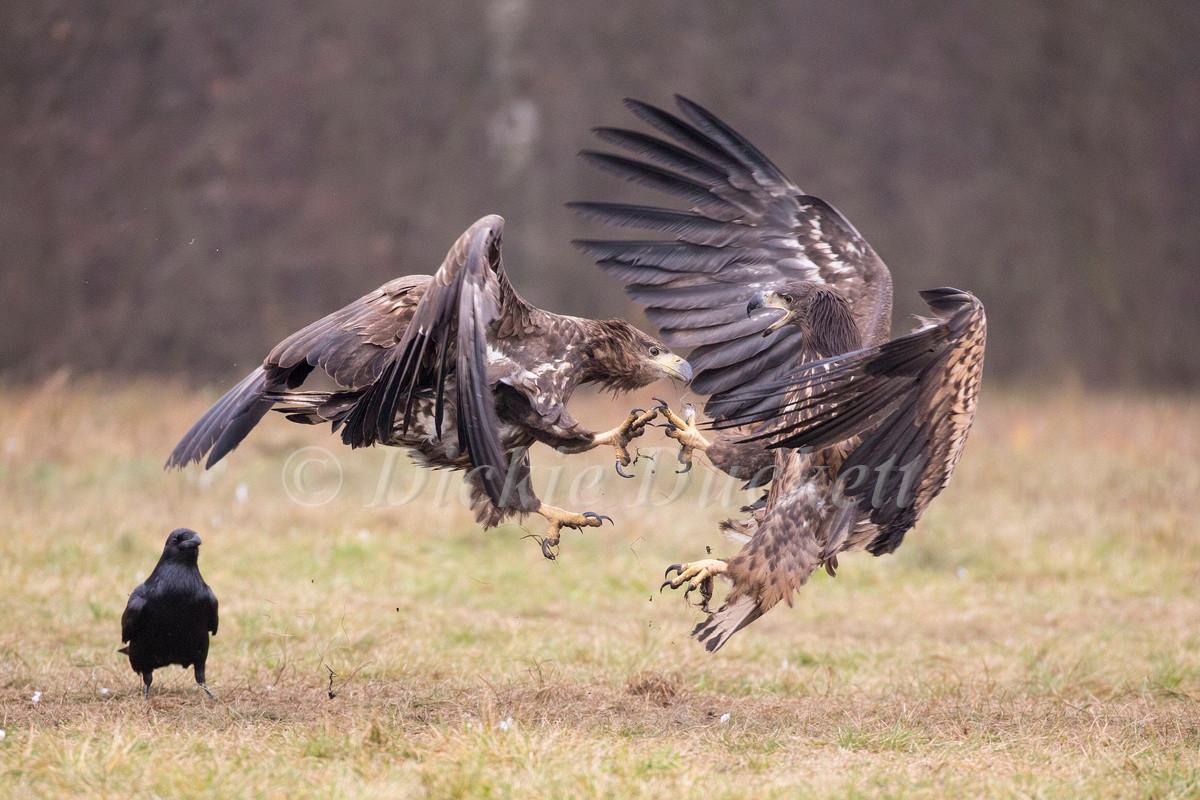 _H2P2049 Eagles fighting.jpg