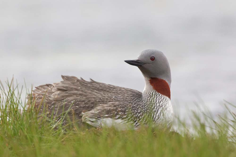 03 Red-throated Diver.jpg